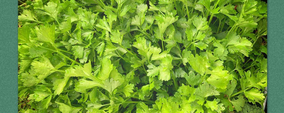 Celery_Leaf